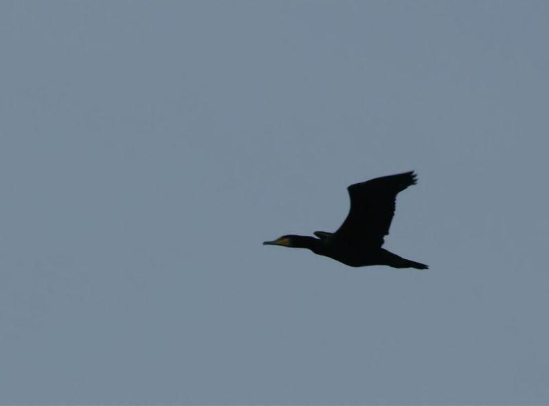 grandcormoran1.jpg