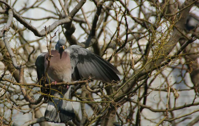 pigeonramier1.jpg