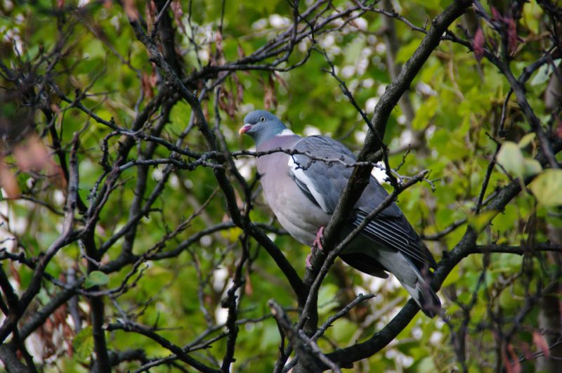 pigeonramier2.jpg