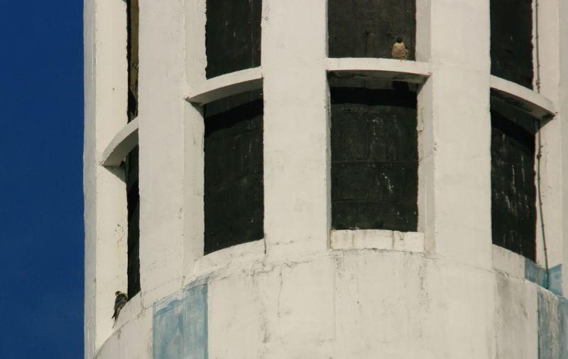 fauconplerinivry30janvier2010ir.jpg