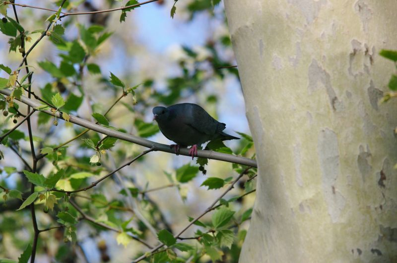pigeoncolombinbercy24avril2010br.jpg